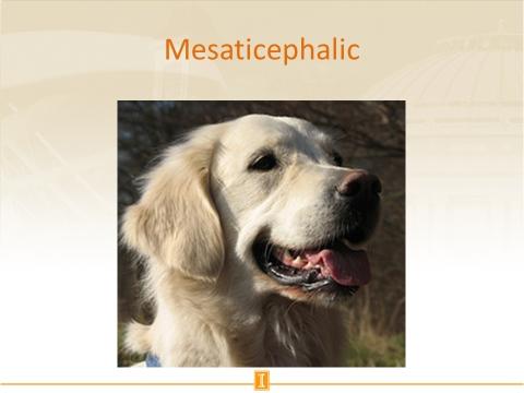 Mesaticephalic