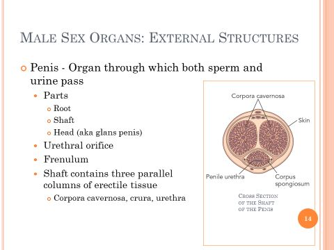 Slides and notes for male sex organs external structures ccuart Choice Image