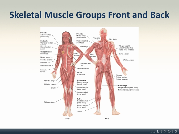 Skeletal Muscle Groups Front And Back