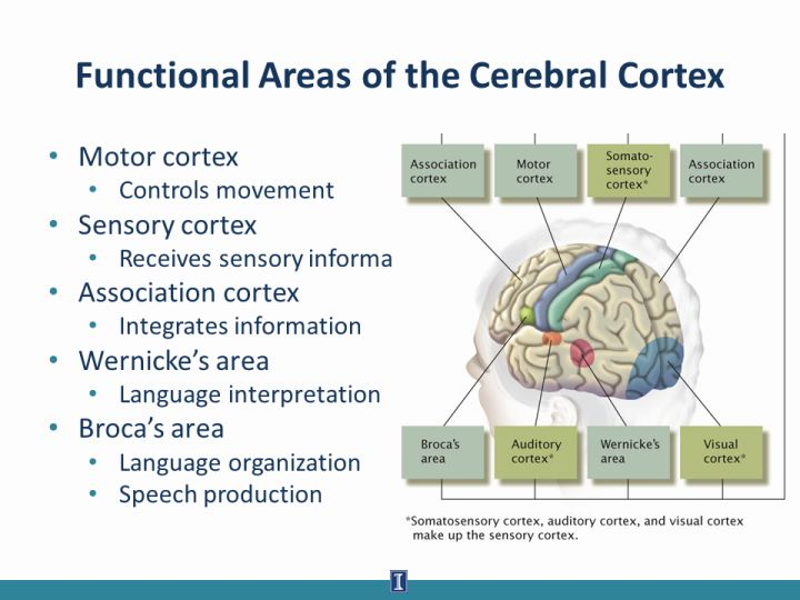Functional area of cortex of brain diagrams wiring diagram slide7full jpg rh cdn citl illinois edu parts of the brain diagram brain cortex and brain ccuart Image collections