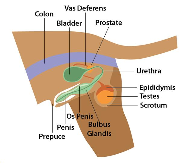 Contents of Reproductive anatomy of the male