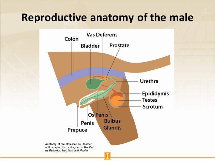 Reproductive anatomy of the male