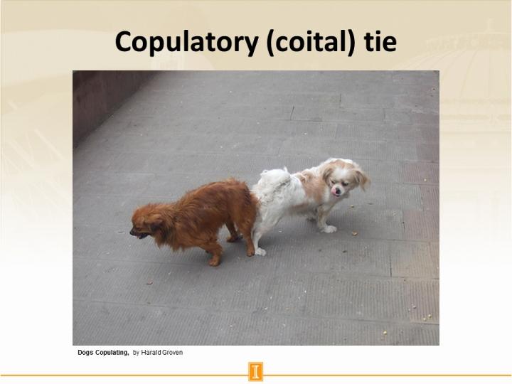 Copulatory Coital Tie