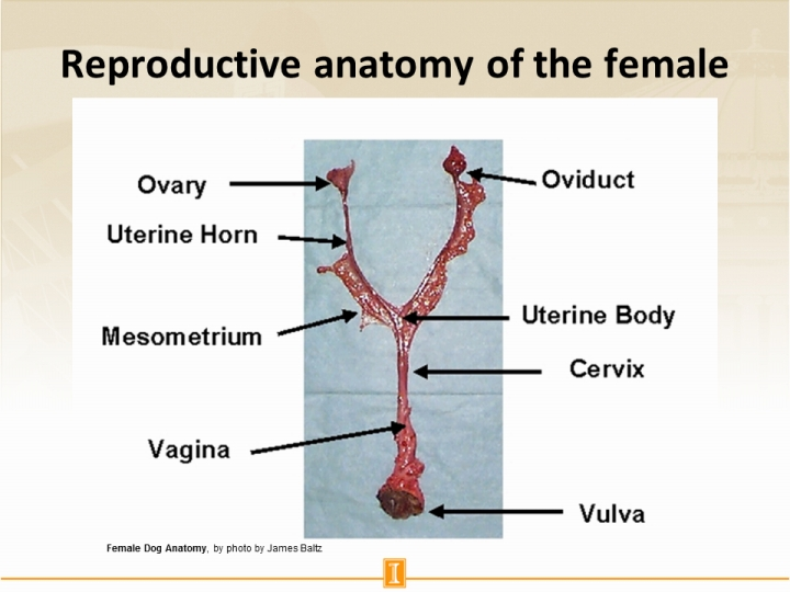 Reproductive Anatomy Of The Female