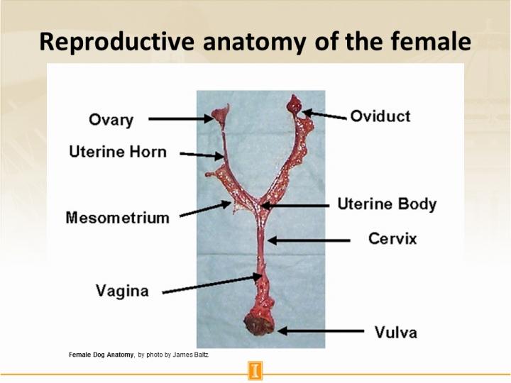 Female dog reproductive organs diagram wiring library slide4full jpg rh cdn citl illinois edu female reproductive system blank diagram clay female reproductive system diagram ccuart Image collections